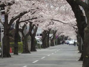 春の桜が丘通り